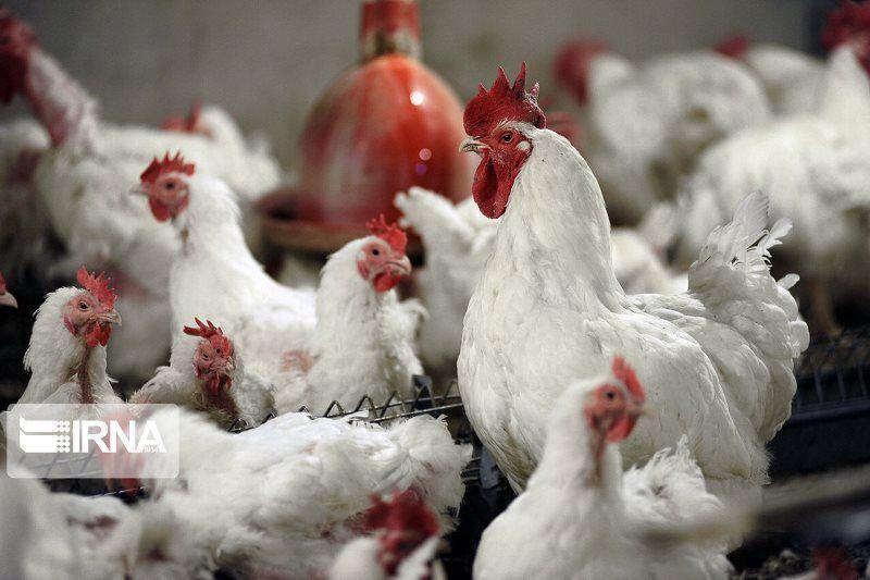خبرنگاران خریدوفروش مرغ زنده در کشتارگاه های خوزستان ممنوع است
