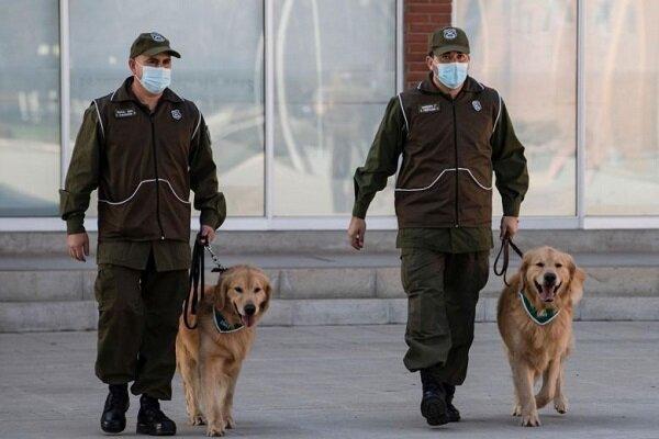 پلیس شیلی برای تشخیص افراد مبتلا به کرونا از سگ استفاده می نماید