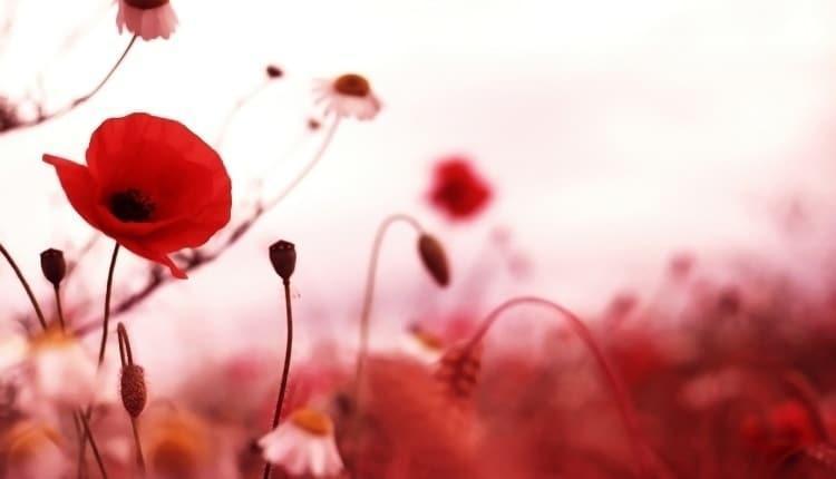 شعر گل شقایق؛ 20 متن و شعر عاشقانه درباره گل شقایق