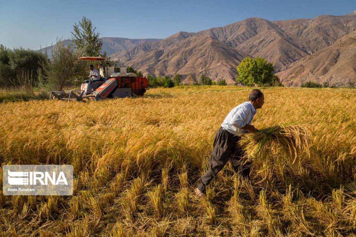 خبرنگاران برداشت برنج از شالیزارهای خوزستان آغاز شد